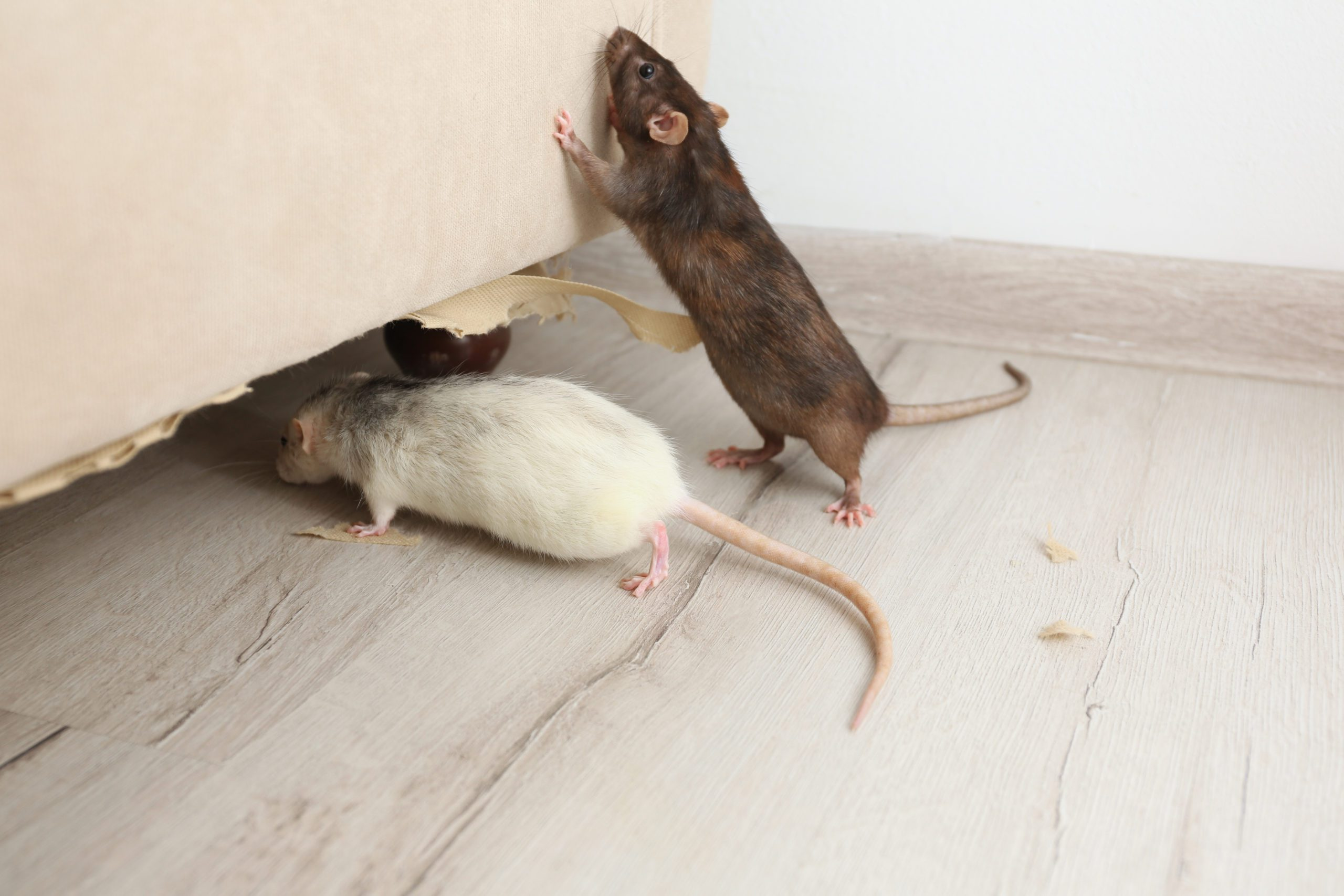 Apartment Rat Infestation
